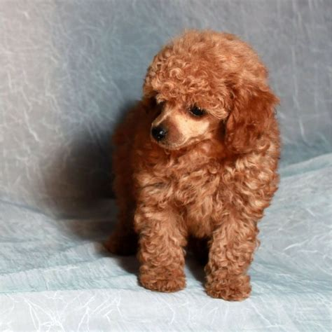 mini poodle for sale 25 best ideas about poodles for sale on