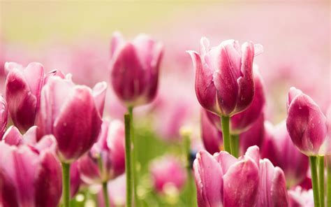 imagenes tulipanes rosas jard 237 n de tulipanes rosas fondo de pantalla 2560x1600 id