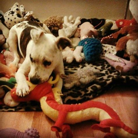 puppy doe from beloved family to tortured victim due to bsl and craigslist ad reward