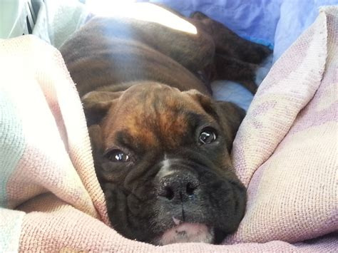 baby boxer puppies cutest boxer puppy meets boxer for the time