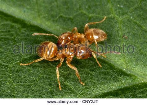 Yellow Raxzel mound ant yellow ant yellow meadow ant yellow turf ant