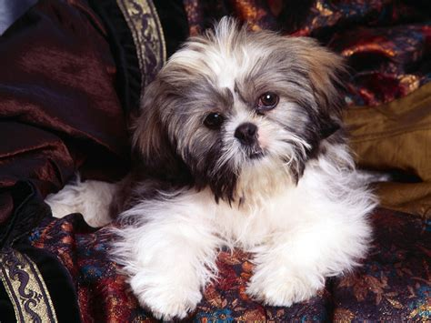 shih tzu puppies shih tzu dogs wallpaper 13248778 fanpop