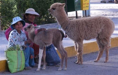 filellama  alpaca  mother  daughter  chivay perujpg wikitravel