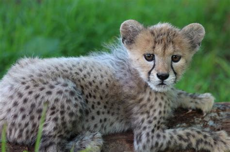 raising a cheetah cub animal fact guide