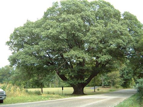 michigan tree michigan tree 28 images michigan tree leaf