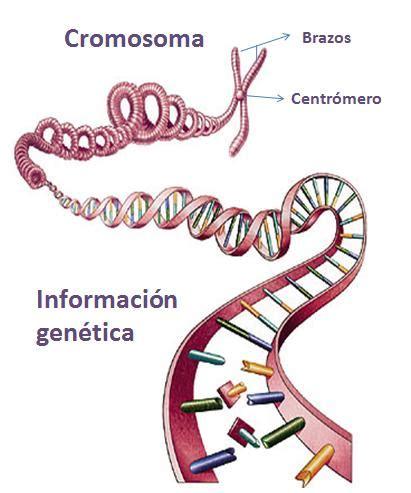 son cadenas de adn biologia