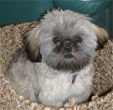 when do shih tzu stop growing shih tzu photos pictures shih tzus page 36 breeds picture