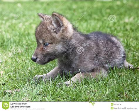 abruzzo vasi cucciolo di lupo grigio fotografia stock immagine di