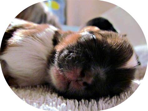 puppy milestones puppy development milestones