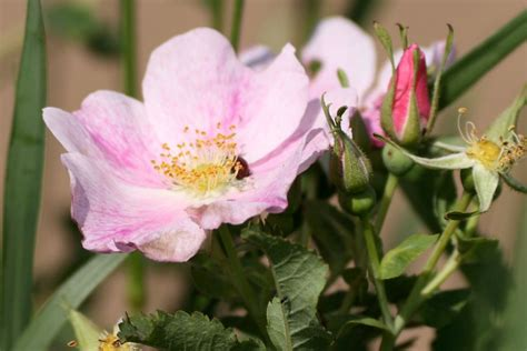 state flower of iowa wild prairie rose is the state flower of iowa and north