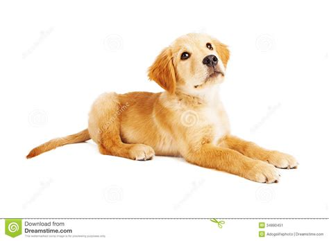 puppy laying golden retriever puppy laying side view stock image image 34890451