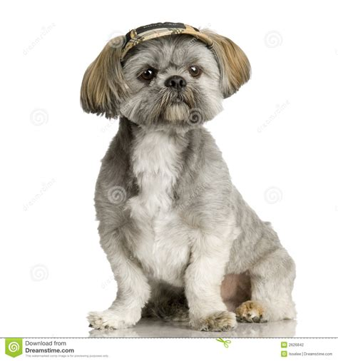 shih tzu photography shih tzu stock photography image 2626842