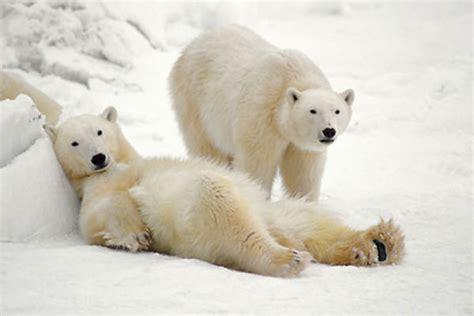 two polar bears in a bathtub servicios conalep