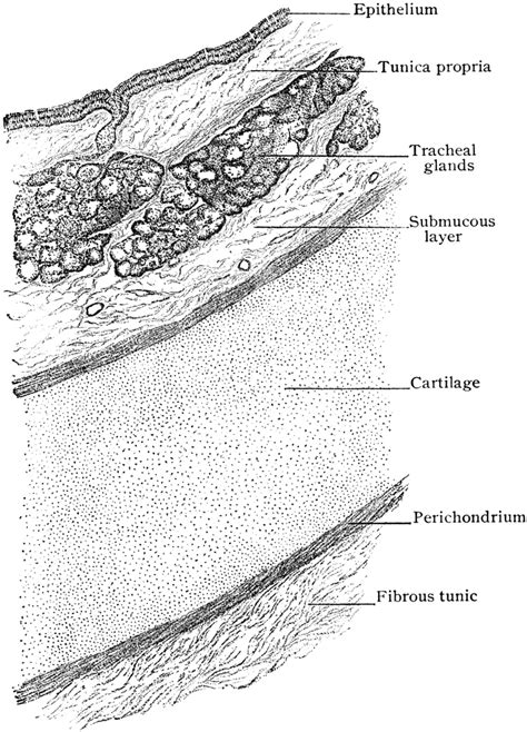 trachea transverse section transverse section of trachea showing arrangement of walls