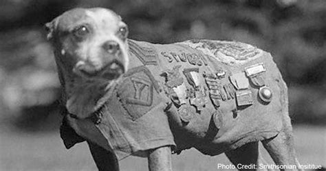 Sergeant Stubby German Meet Sgt Stubby The S Most War The Animal Rescue Site