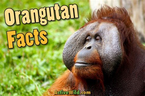 orangutan facts pictures video information discover  critically endangered rainforest ape