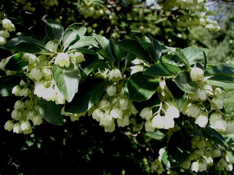 white bell flower tree 28 images pin by diane brooke