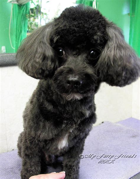 pictures of different types of poodle hair cuts toy poodle haircuts pictures hairstylegalleries com