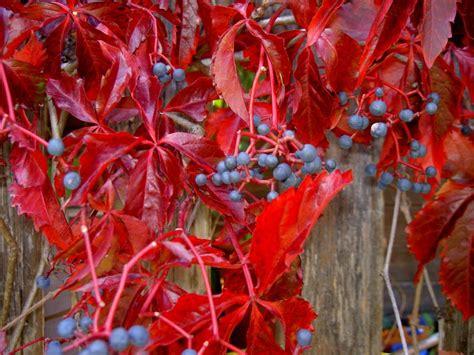 winterharte balkonpflanzen bilder winterharte balkonpflanzen 23 lebendige vorschl 228 ge f 252 r