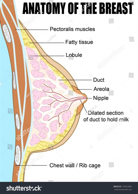 cross section of breast female breast anatomic cross section for basic medical