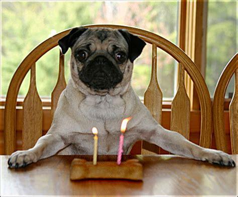 birthday pug images birthday pug by shutterpug dpchallenge