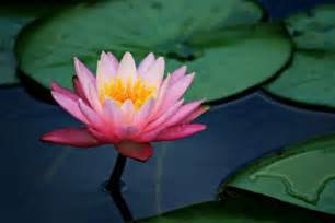 The Lotus Pad Water Lilies Teach In Asia