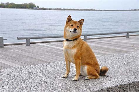 fox breed breed smart like a fox toronto