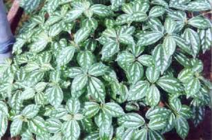 foliage plants names foliage plants