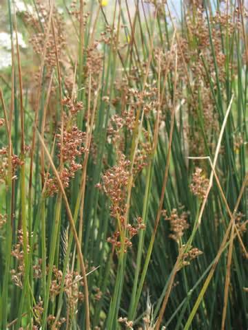Types Of Garden Soil - juncus patens the watershed nursery