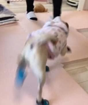 prancing pug dogs react to to wear booties to go out in the snow daily mail