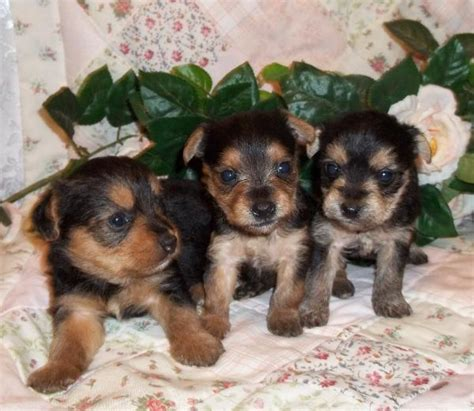 yorkie poo maltese puppies image gallery newborn yorkie poo puppies