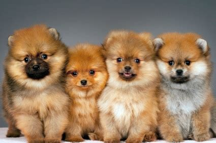 pomeranian expectancy pomeranian dogs breeders and photos