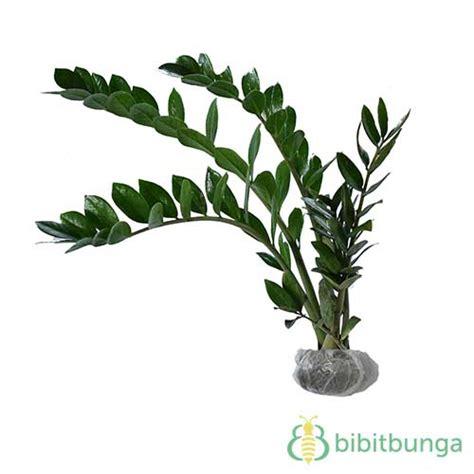 Zamia Kulkas tanaman zamioculcas