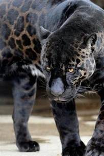 Why Do Jaguars Spots 25 Best Ideas About Animals On