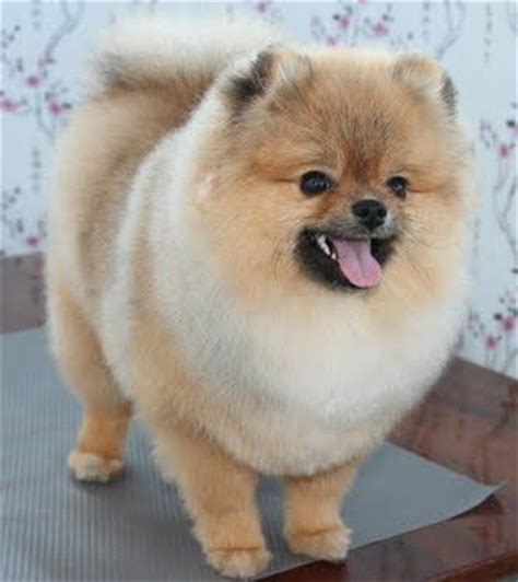pomeranian haircuts best 28 dog grooming by kristen images on pinterest