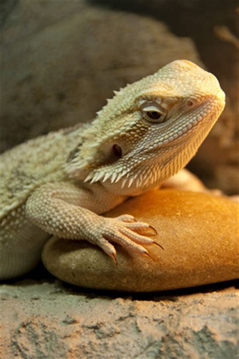 bearded dragon heat l bearded dragon requirements bearded dragon care
