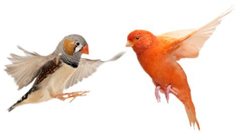 Harga Pakan Burung Kenari Yang Bagus kenari canary pakan kenari