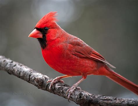 attractive northern cardinals birds beautiful birds
