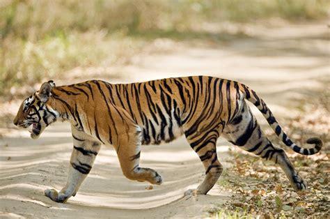 Home Decor Blogs India bengal tiger panthera tigris tigris photograph by