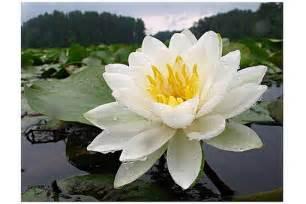 White Lotus Gallery Beautiful White Flower Lotus Jpg