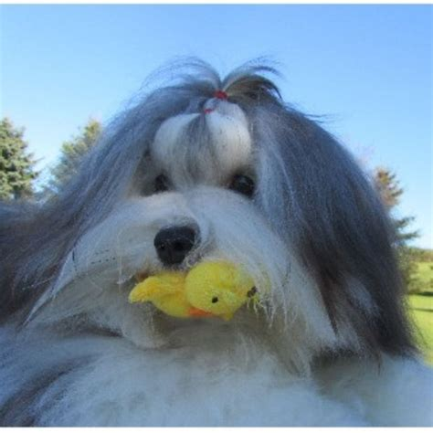 havanese rescue new york havanese breeders in new york freedoglistings