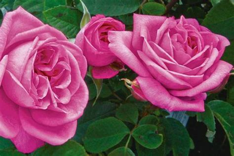 the 10 best roses for scent and care tips in december