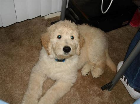 goldendoodle haircut pictures goldendoodle puppy haircut doodles pinterest