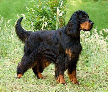 gordon setter dog food gordon setter heaviest setter breed