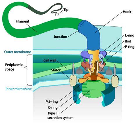 diagram of flagella results