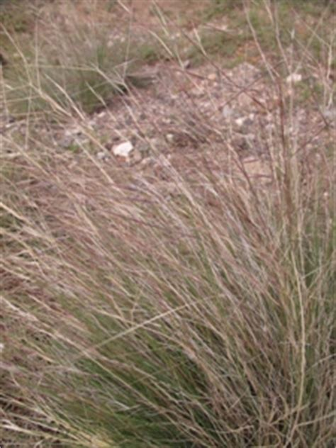 red awn wildflowers of the southern rocky mountains grasses sedges rushes
