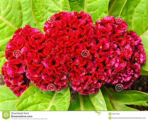 fiori creste di gallo rossa fiore della cresta di gallo su fotografia