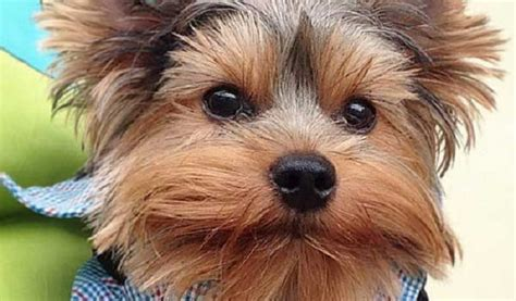 common yorkie problems yorkie most common terrier eye problems yorkiemag