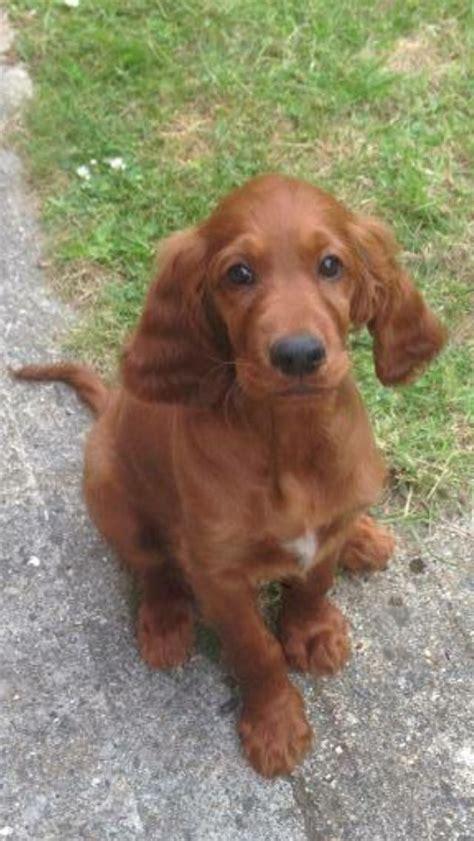 setter cross dog for sale 743 beste afbeeldingen over red setter dogs op pinterest