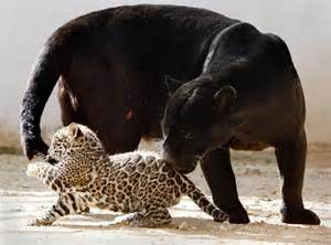 Jaguars And Panthers Leopard Cub Black Panther With S